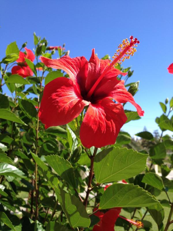 Leuchtend rote Hibiskus-Blüte mit blauem Himmel im Hintergrund